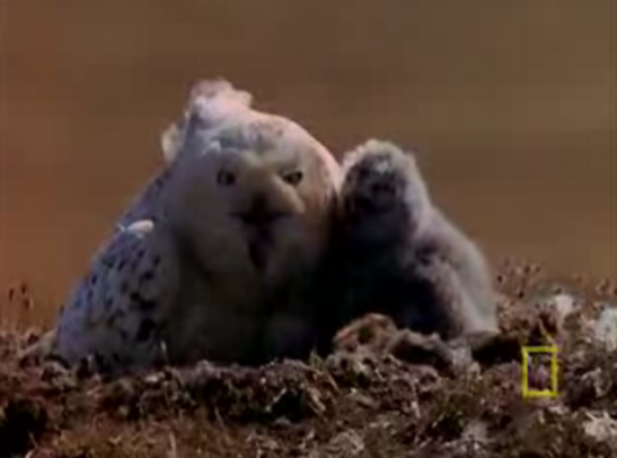 Snowy Owls in the Tundra