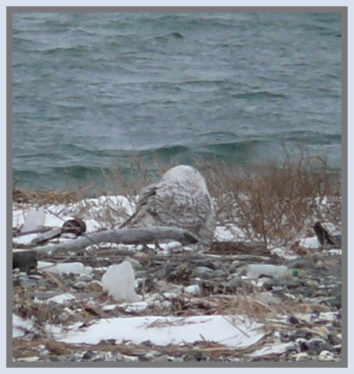 A Snowy Owl from the backside gazing out on the open water for prey