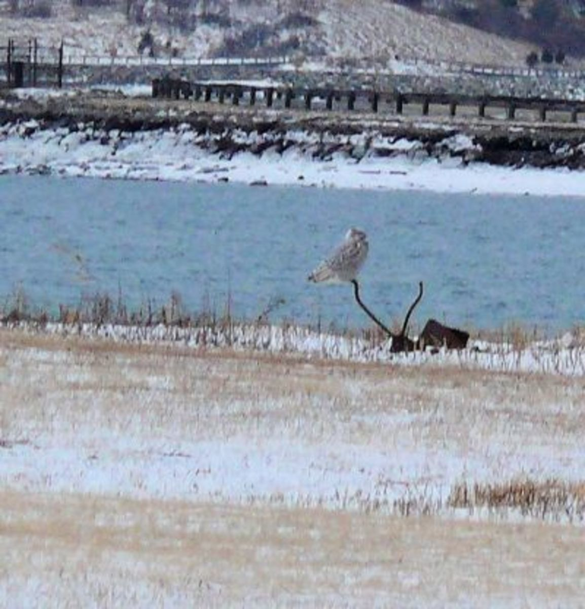 The perfect lookout to spot the next meal for this Snowy Owl