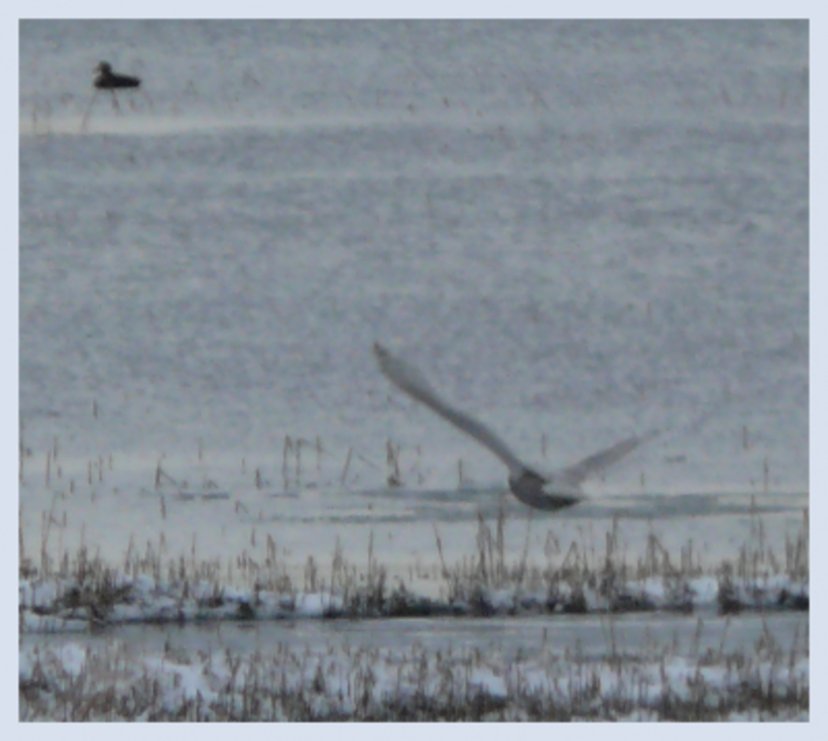 In the distance...a duck. In the foreground...a hungry swooping Snowy Owl!