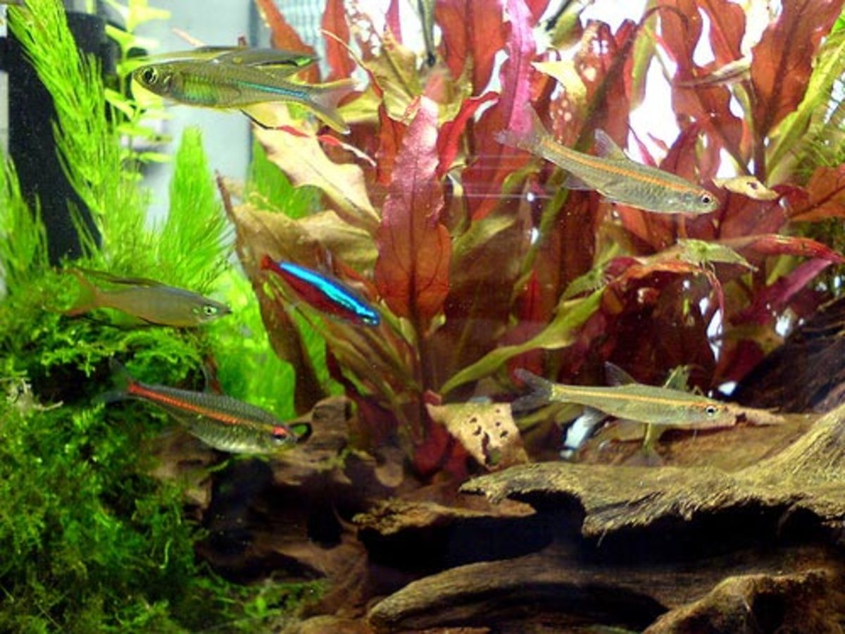 List of tropical fish for freshwater aquariums for Freshwater aquarium fish guide