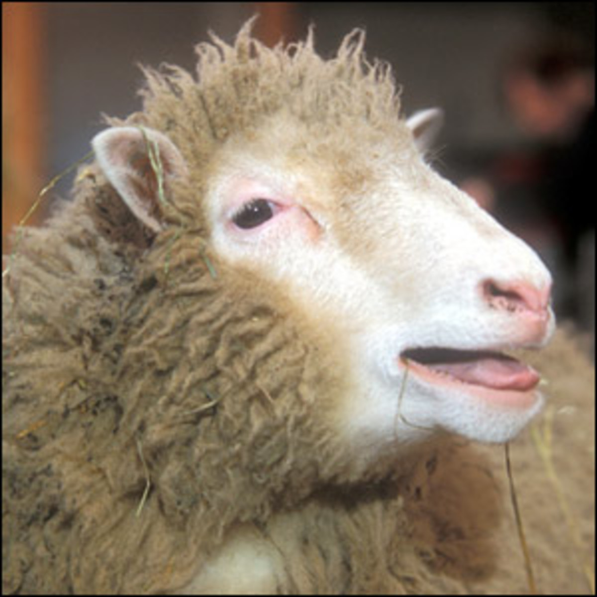 Dolly the sheep, the first cloned animal