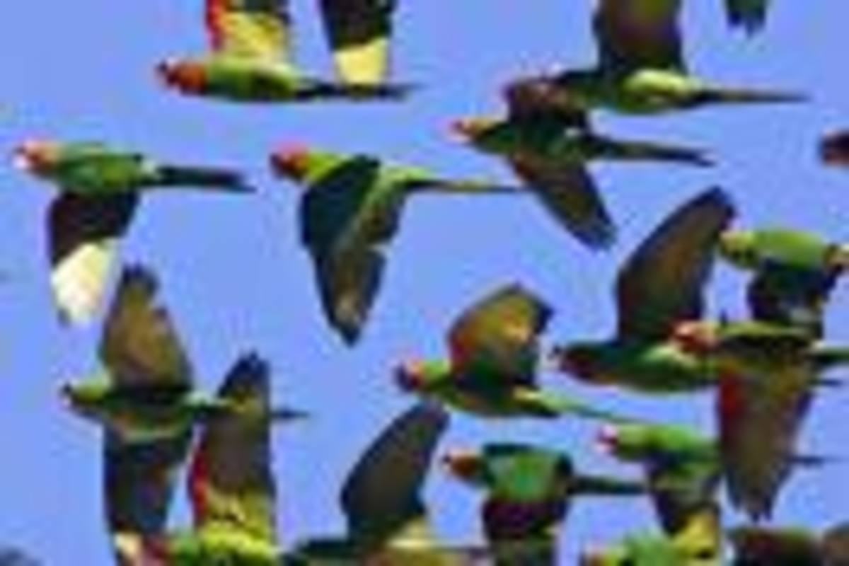 The Wild Parrots in Whittier, California