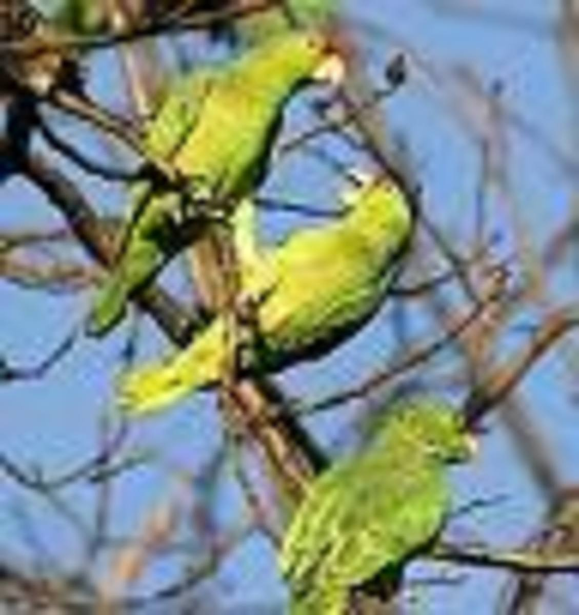 the-wild-parrots-of-whittier