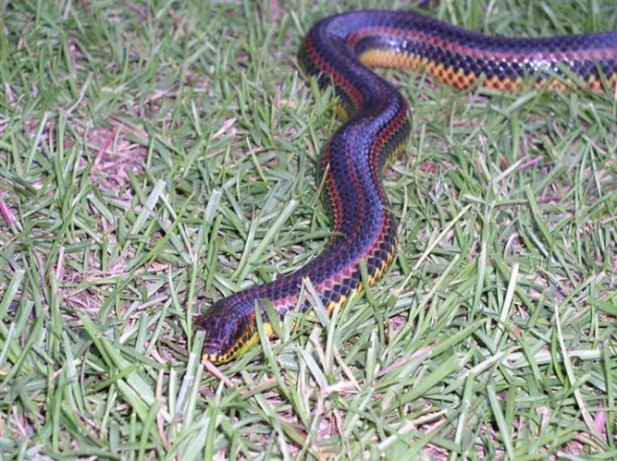 Rainbow Snake in Georgia