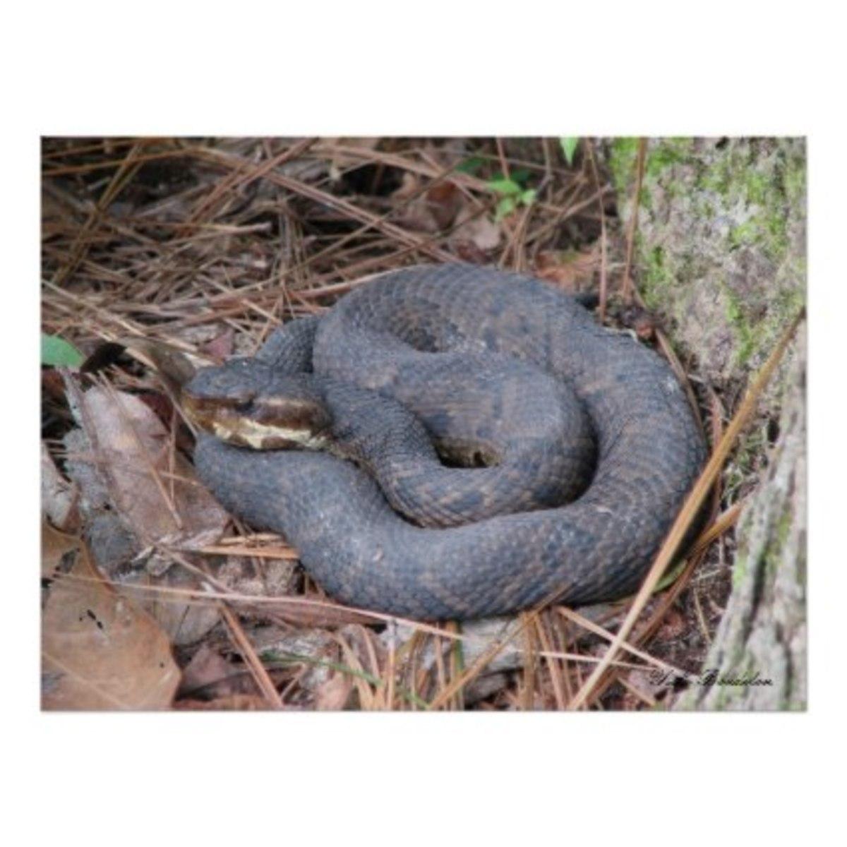 Snakes Of Louisiana
