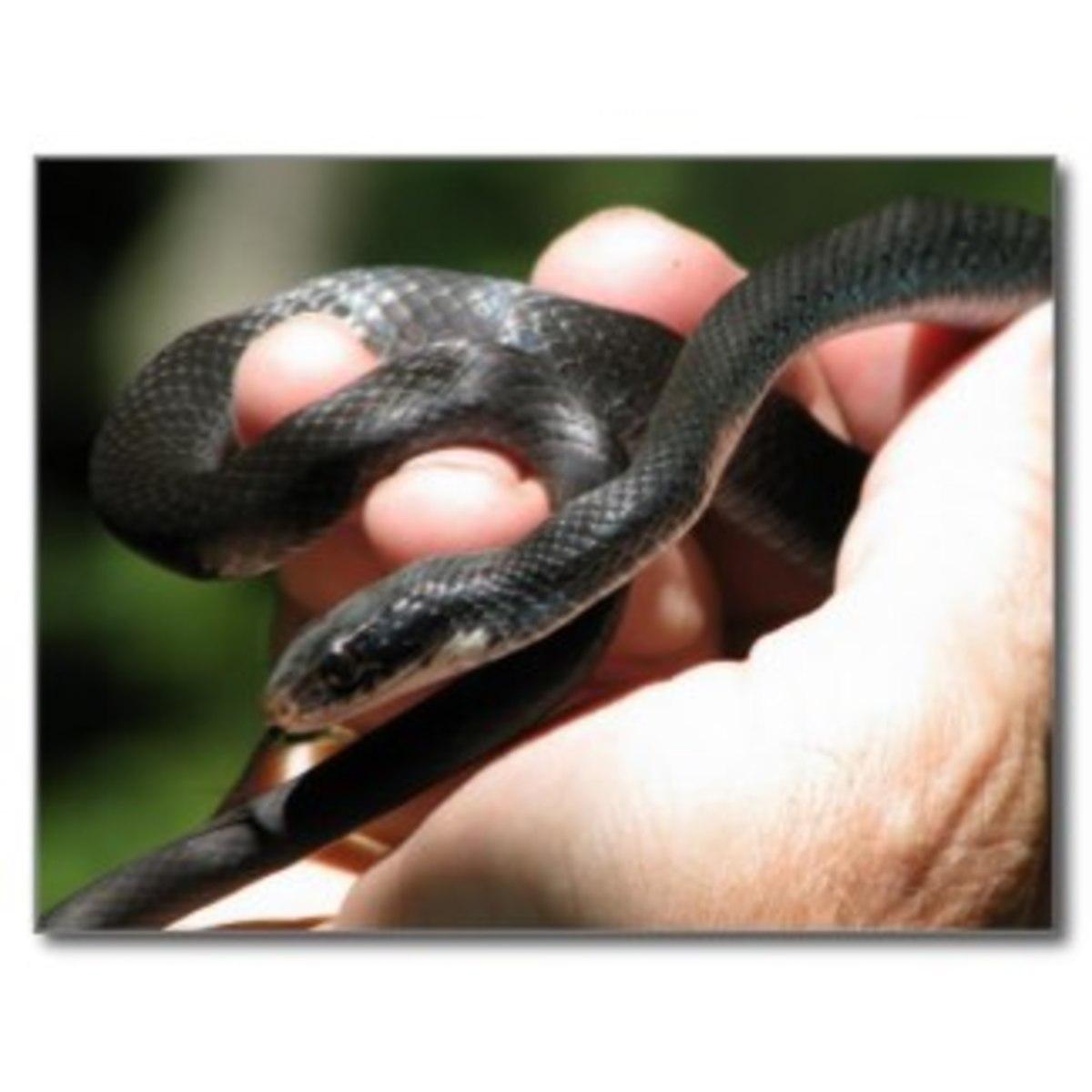 snakes_louisiana