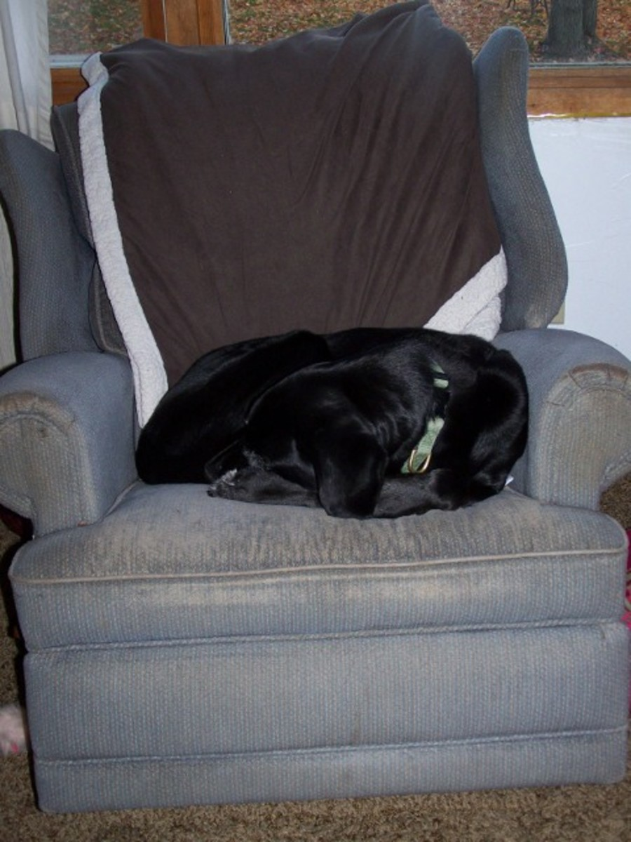 Our 14 year old dog in Papa's chair.