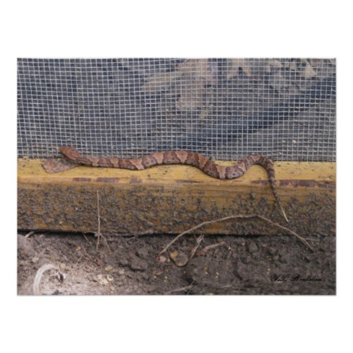 cottonmouth_snake
