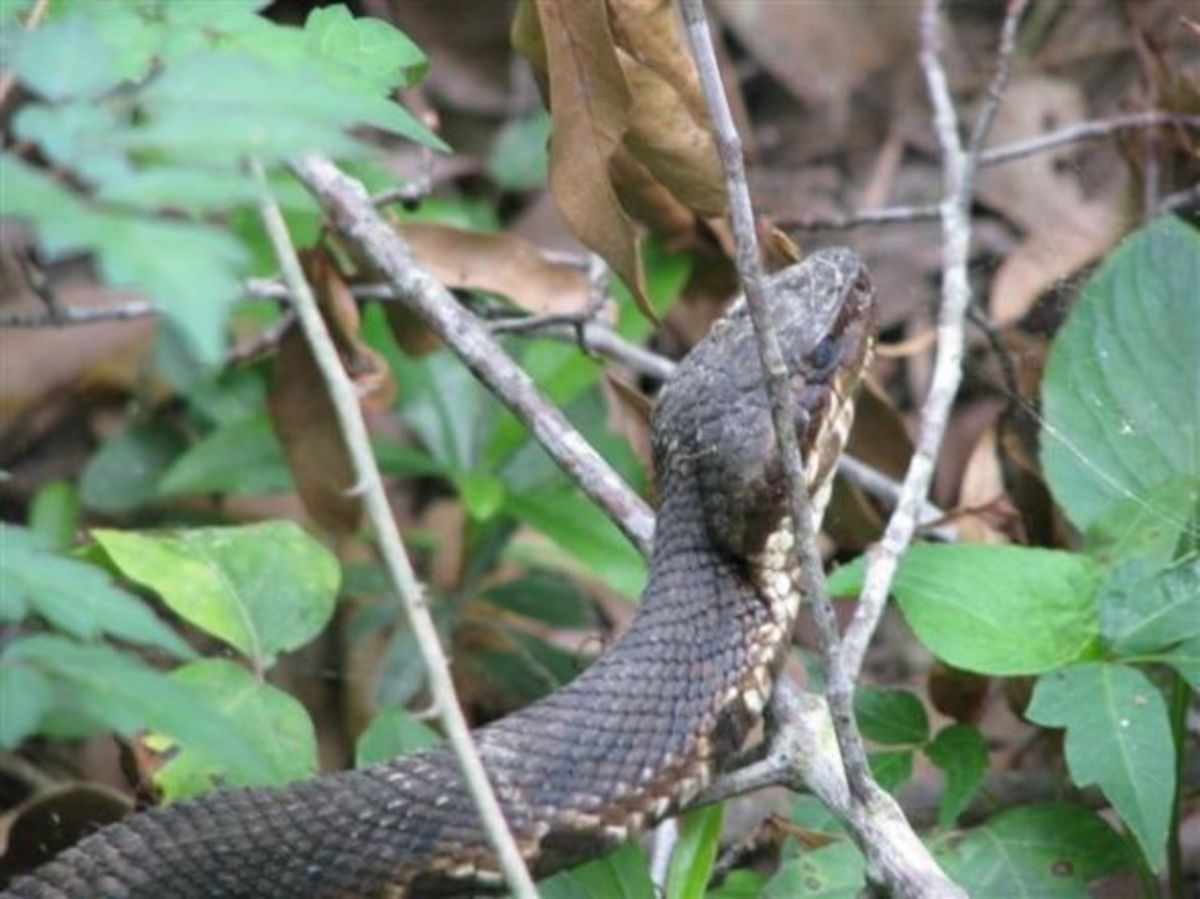 That was a good thing because this snake is preparing to shed. Notice the cloudy, bluish tint to its eyes.