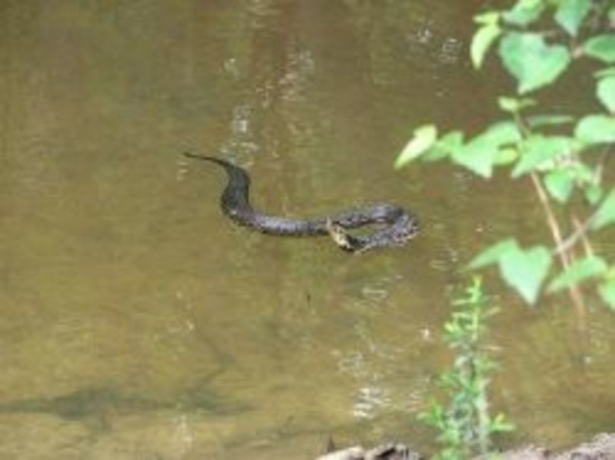 Cottonmouth in Tchefuncte River