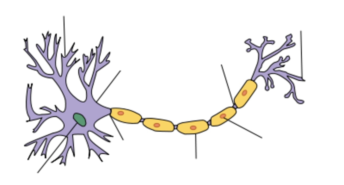 "Myelin (colored yellow here) is the coating on the axons of the typical neuron. Myelin is the so-called ""white brain matter""."