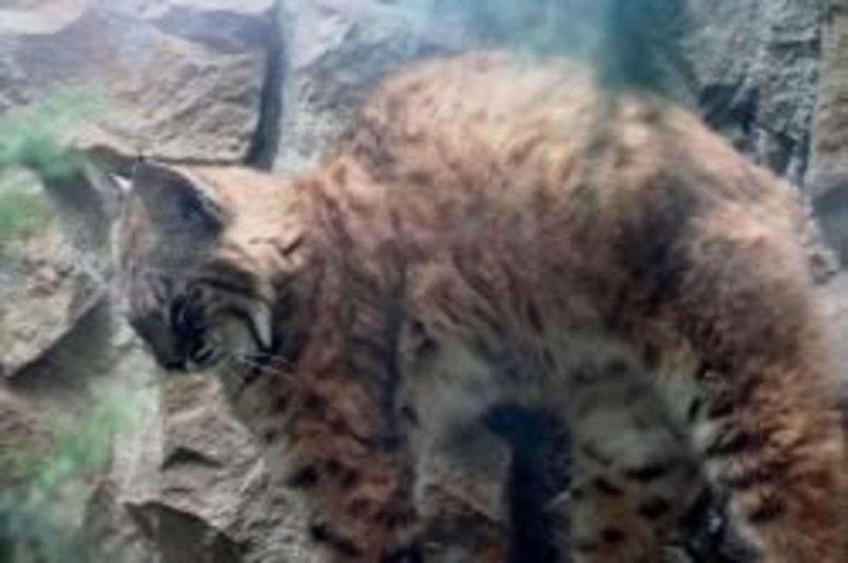 Beautiful Lynx at the Zoo