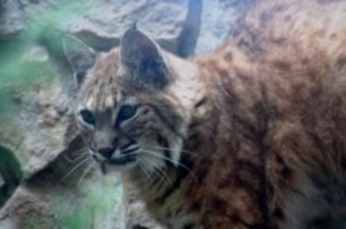 Bobcat or Lynx at the Boise Zoo