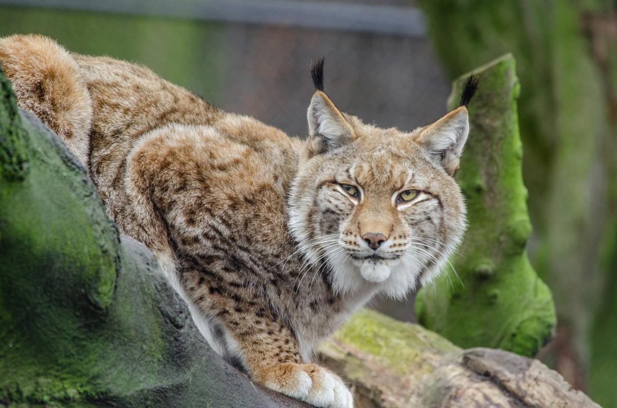 A lynx relaxing in a tree