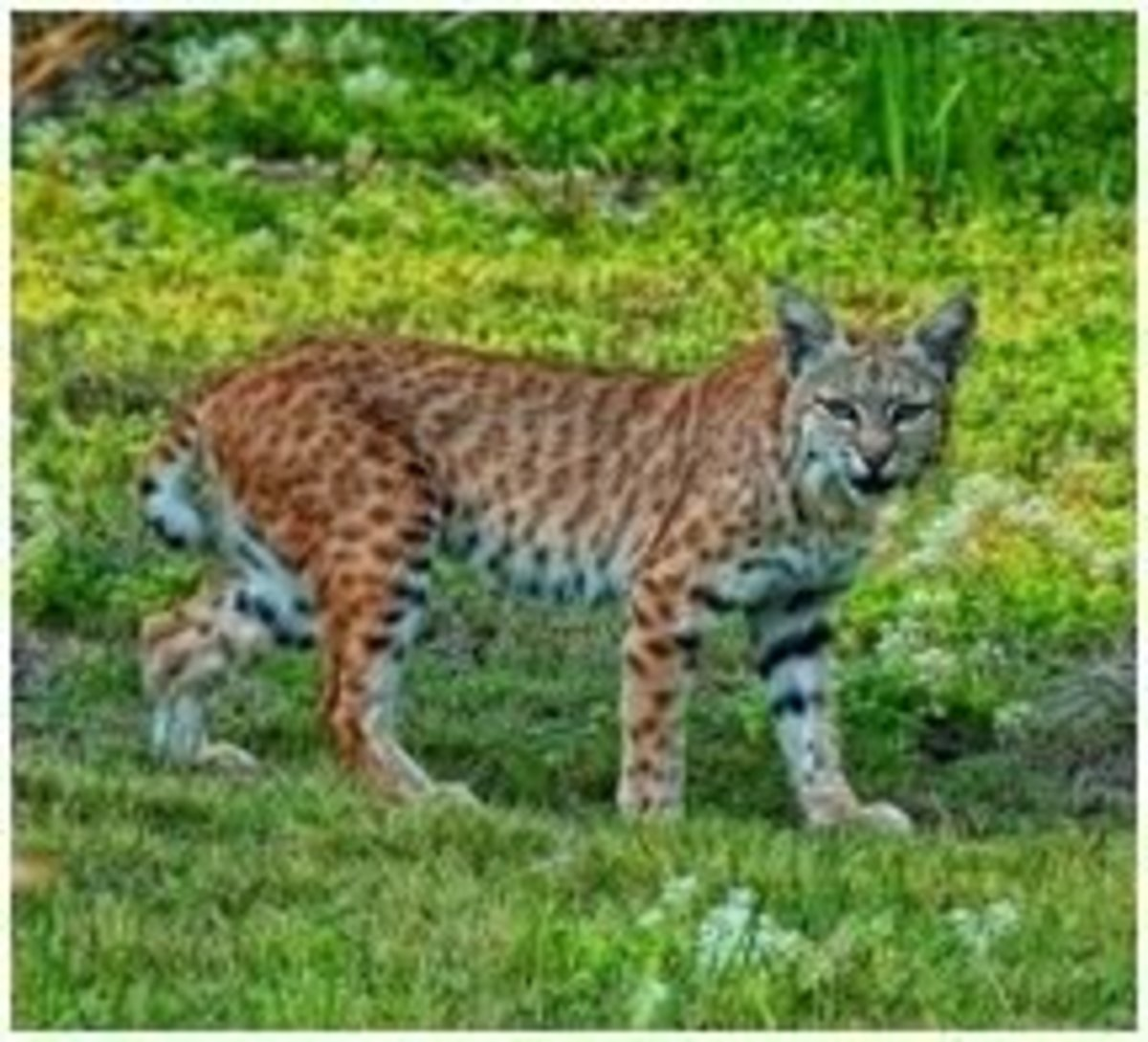 The Lynx or Bobcat