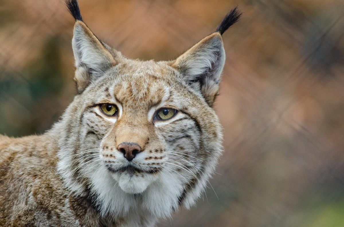 Beautiful head study of a Lynx or Bobcat