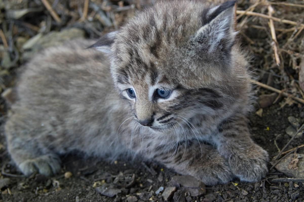 Adorable baby bobcat or lynx kitten