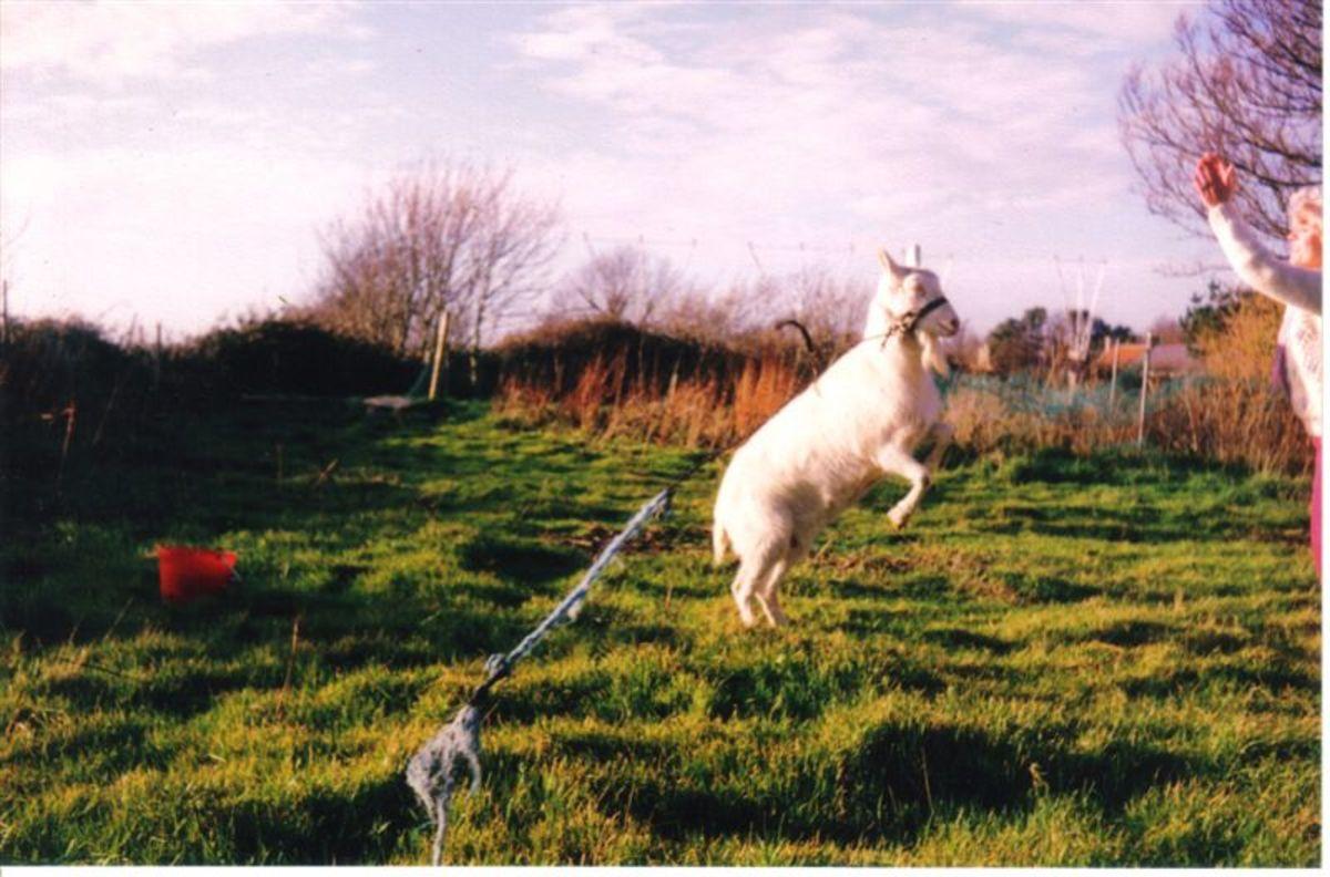 My Goat Trixie
