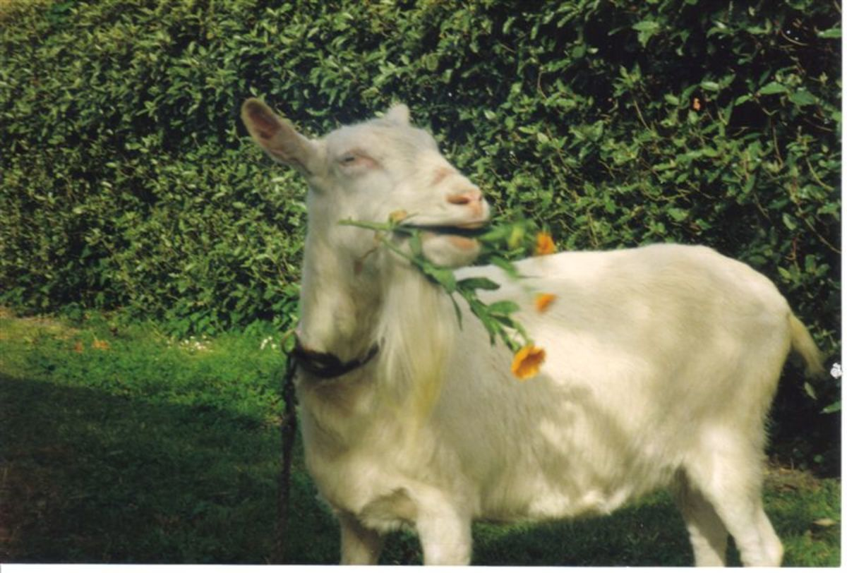My Goat Trixie, a Great Pet