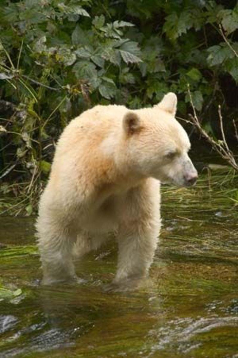 Spirit Bear courtesy of Wikipedia