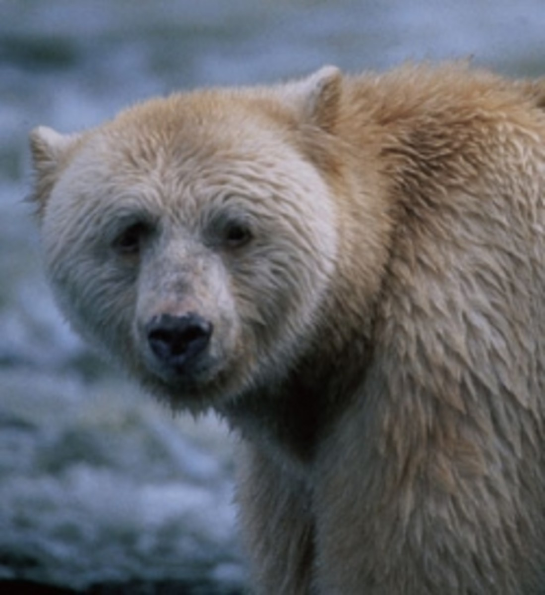 The Spirit Bear aka Kermode Bear aka Ghost Bear