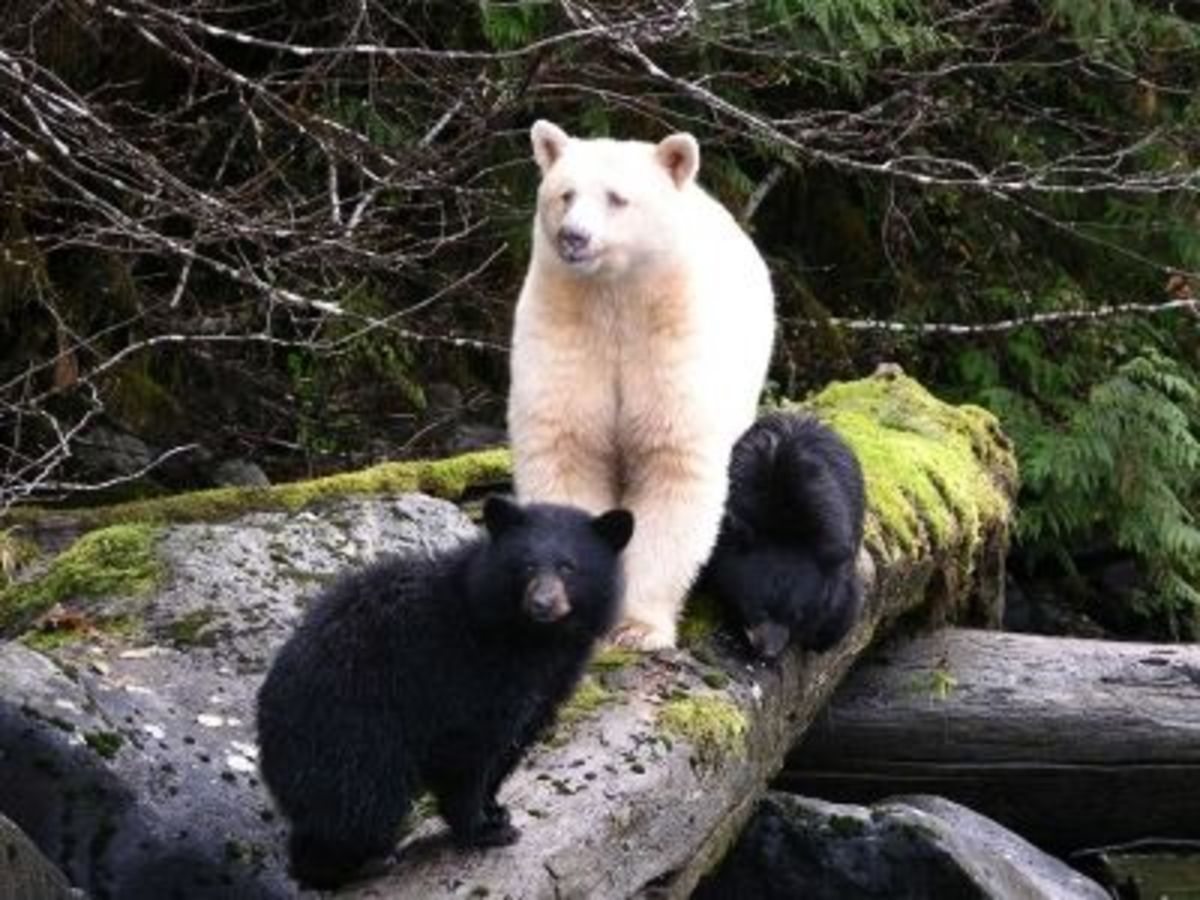 Spirit Bear with Cubs - Courtesy of www.bearmatters.com