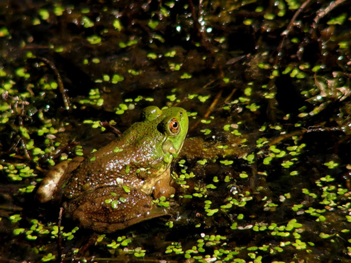 Are frogs the canary in the coalmine? Photo by Noël Zia Lee.