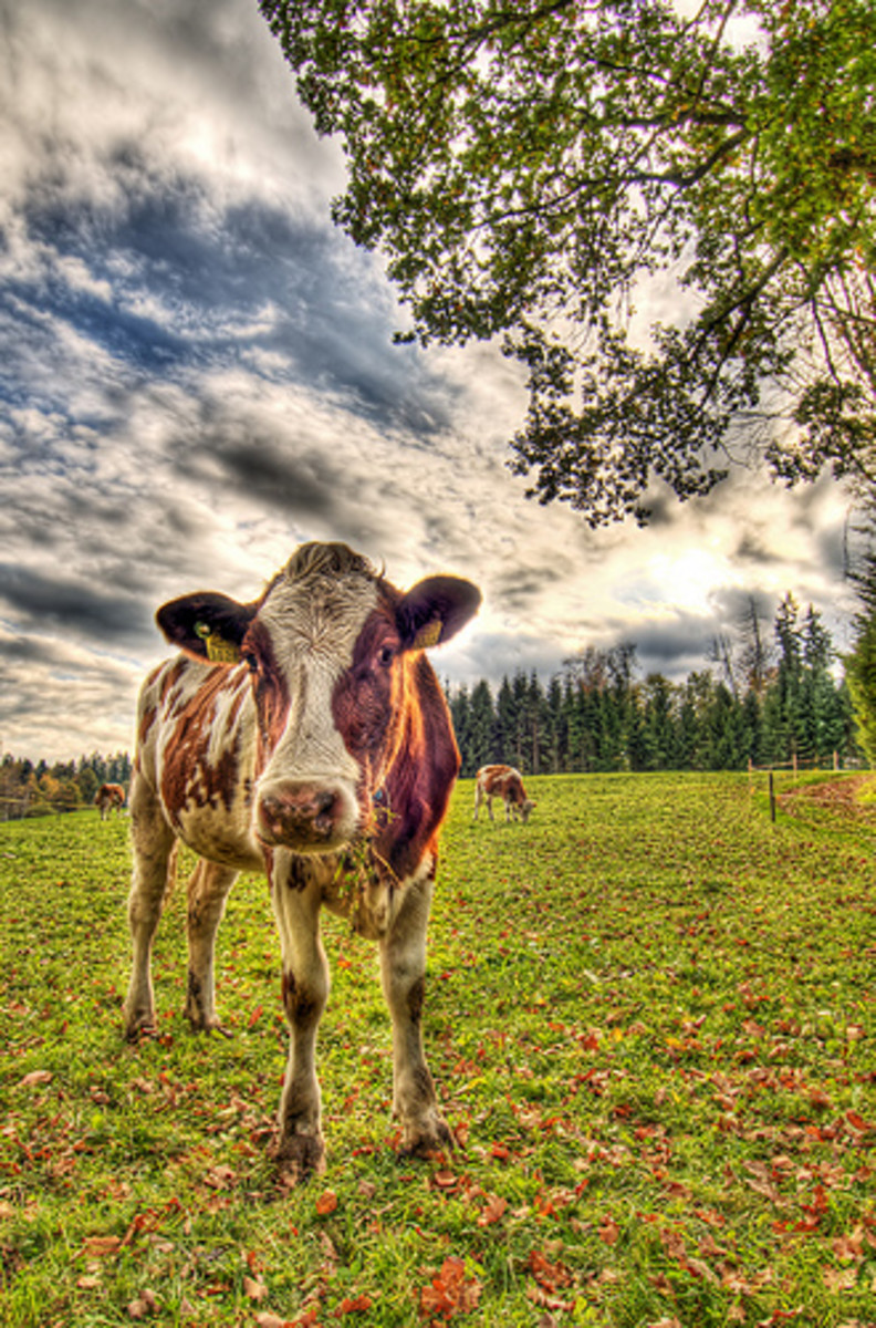Meat and milk from organic, grassfed cattle are least likely to contain xenoestrogens. Photo by Tambako the Jaguar.
