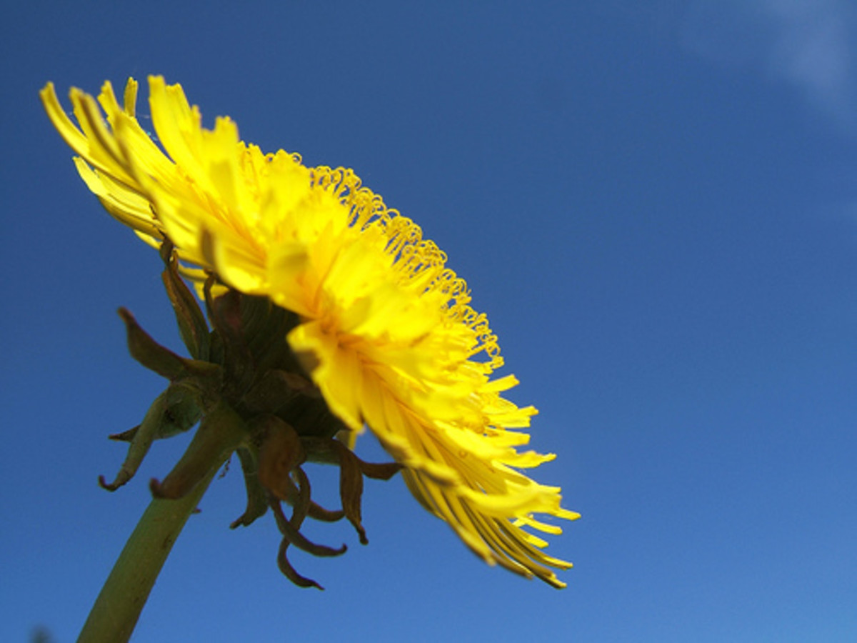 The much-maligned dandelion is an excellent nutrient accumulator. Photo by *Micky.