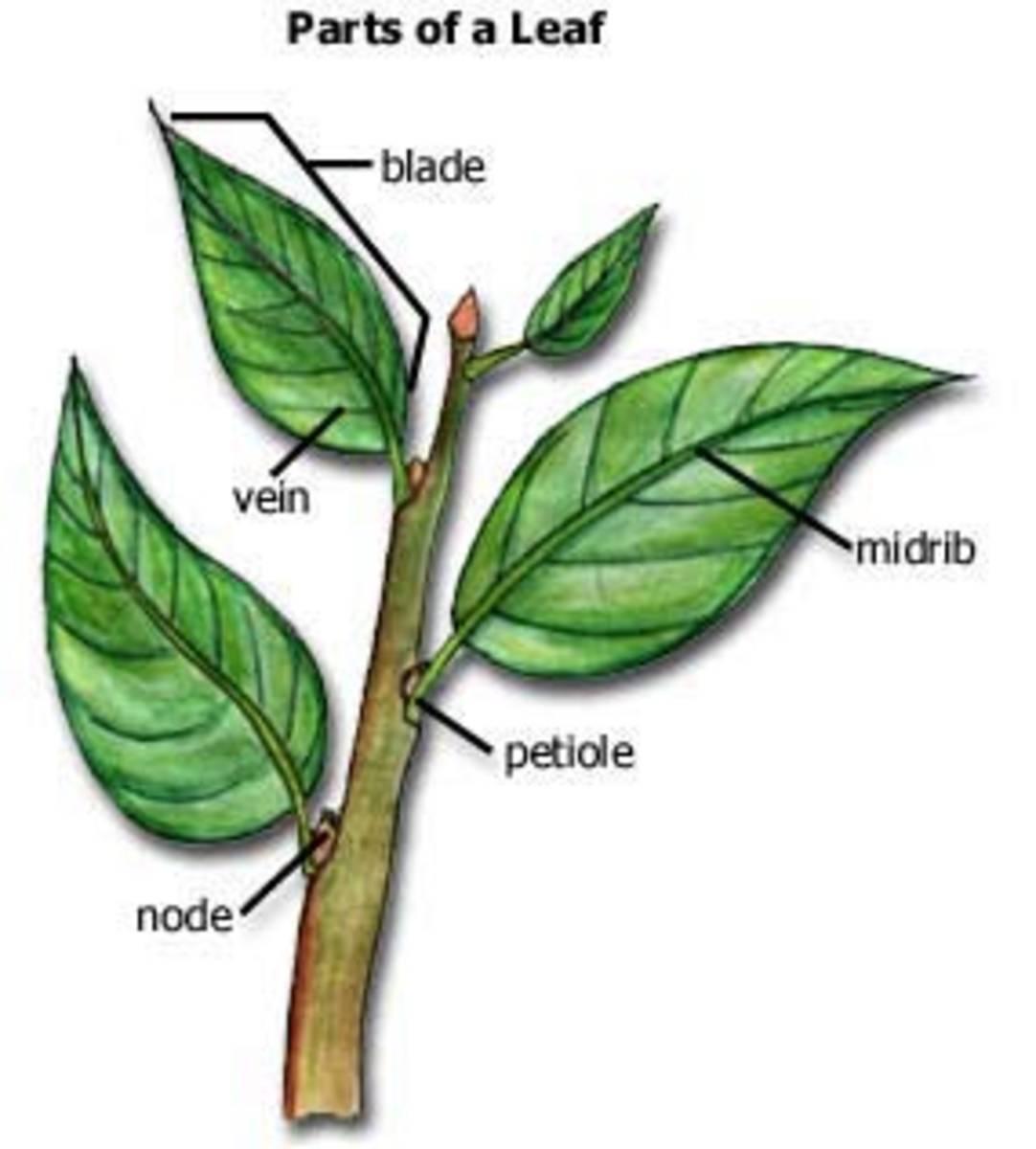 Basic diagram of a leaf