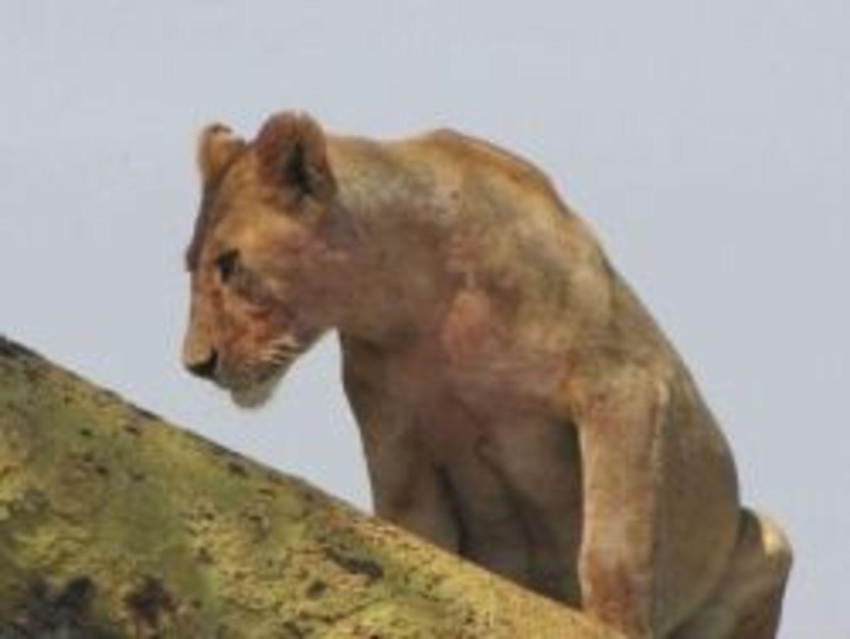 Thirsty lioness