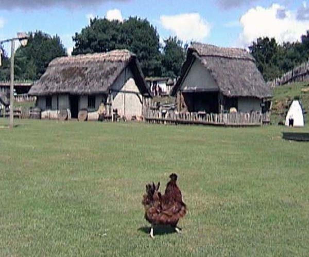 Chicken run at Mountfitchet castle