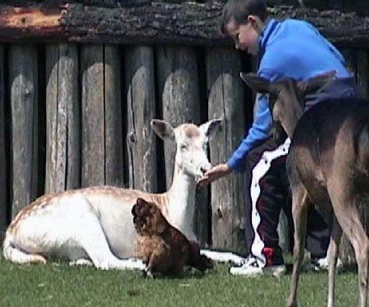 Feeding the animals at Mountfitchet castle