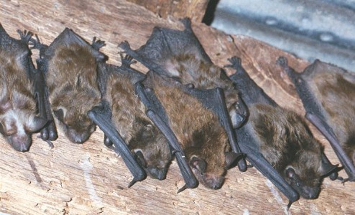 Bats Why They Are Important And How To Get Bats To Make