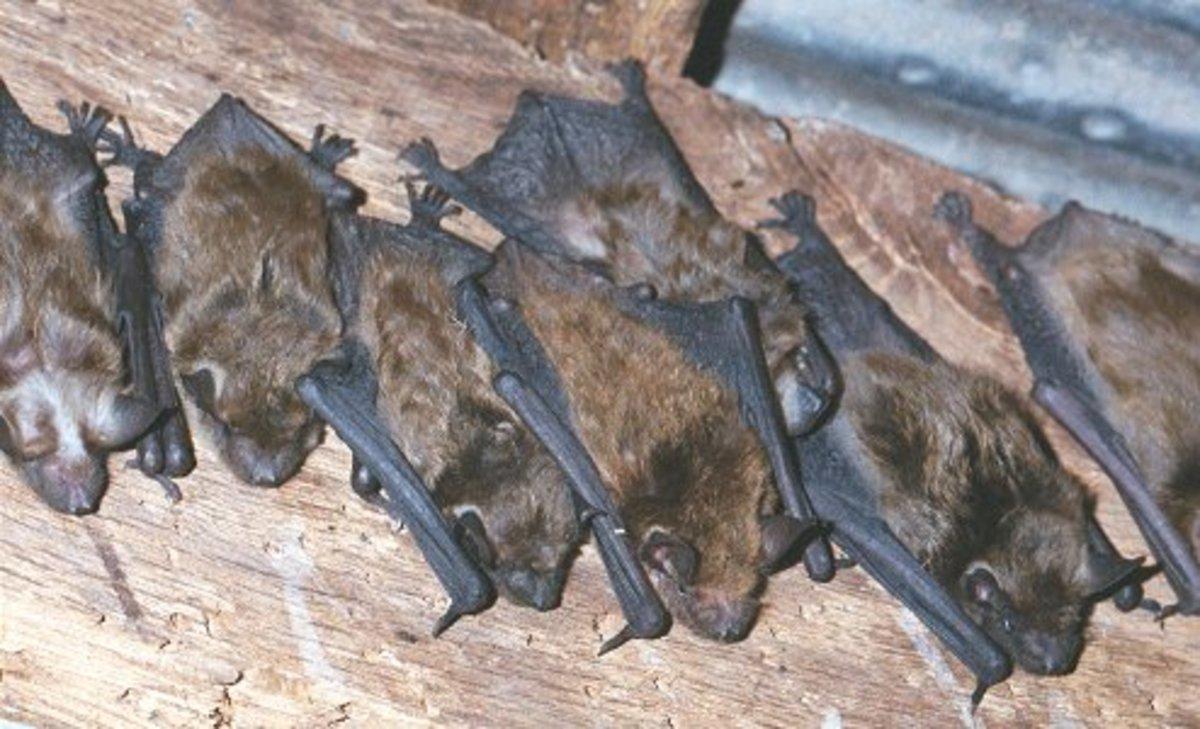 Little Brown Bats Nesting
