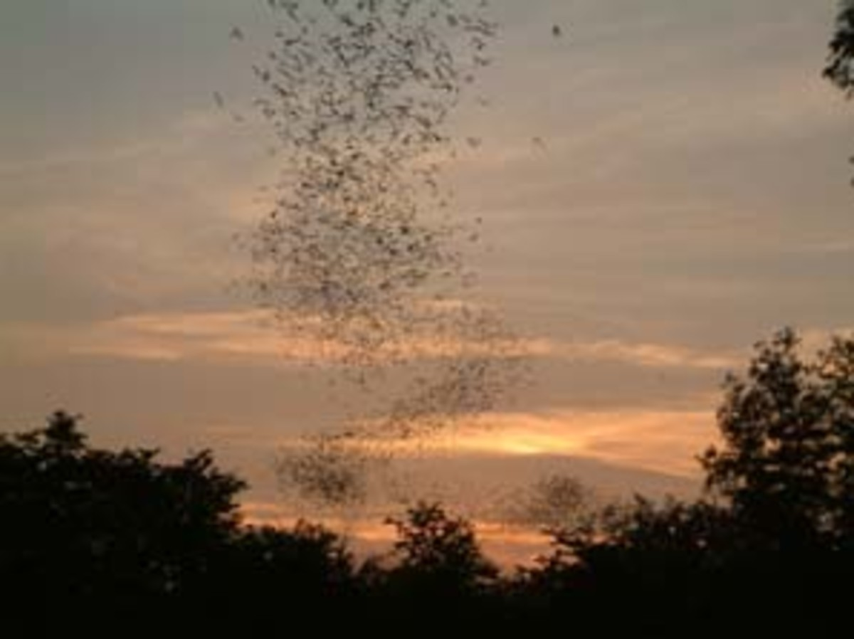 Huge Bat Colony Coming Out At Sundown To Hunt For Mosquitoes