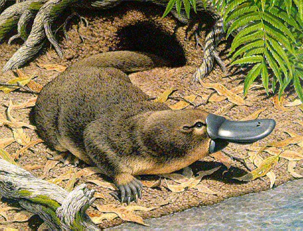 Interesting facts about Australian monotremes ! Platypus on the Australian 20 cent coin