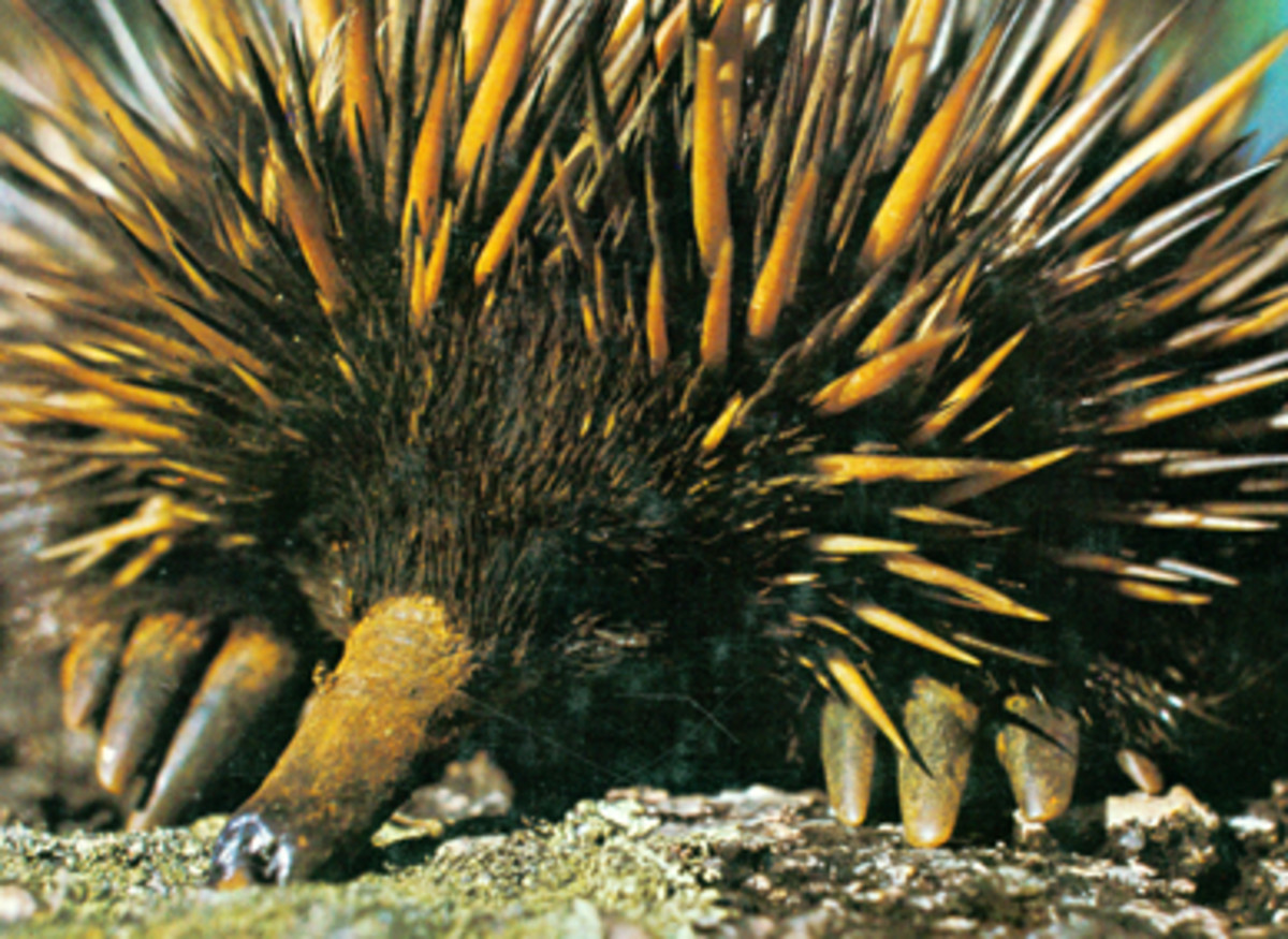 The Echidna a face only a mother could love