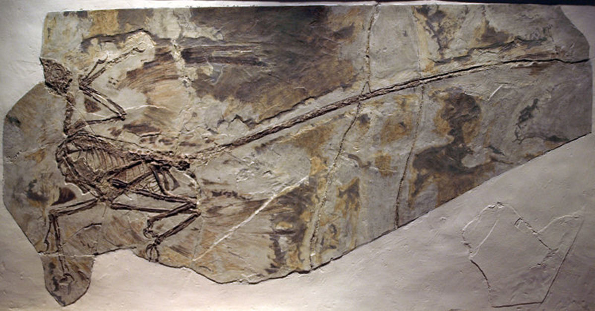 Microraptor fossil - note the markings coming away from the bones, closer inspection reveals they are flight feathers.