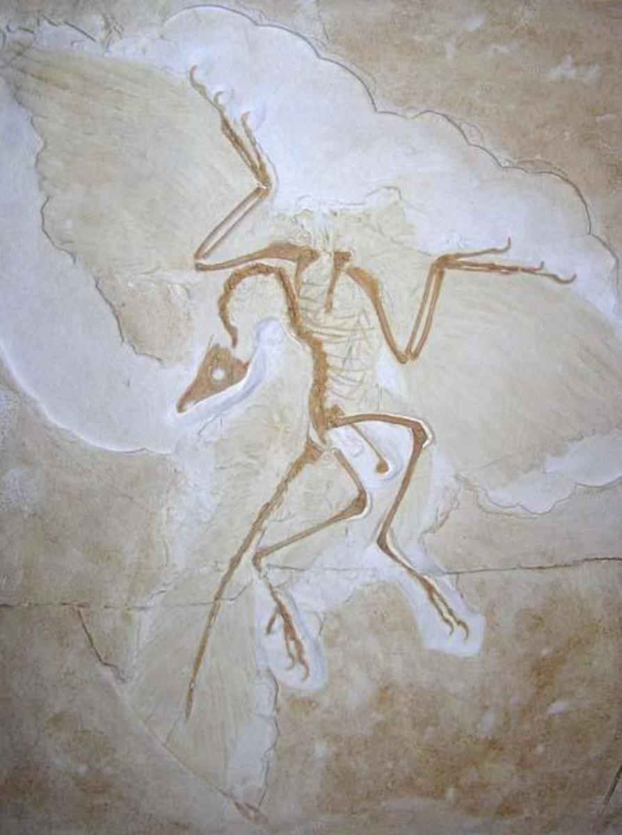 Archaeopteryx, the winged dinosaur that started ll the speculation in the 1860's...