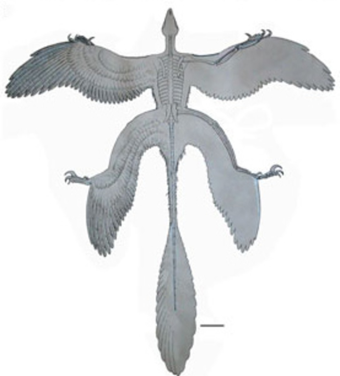 Illustration of a microraptor with it's limbs spread out like a flying squirrel.