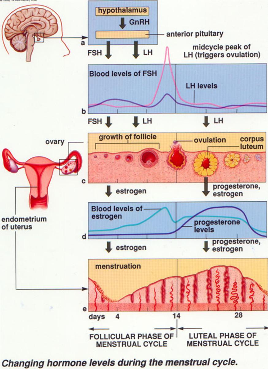 hormones-estrogens-progesteron
