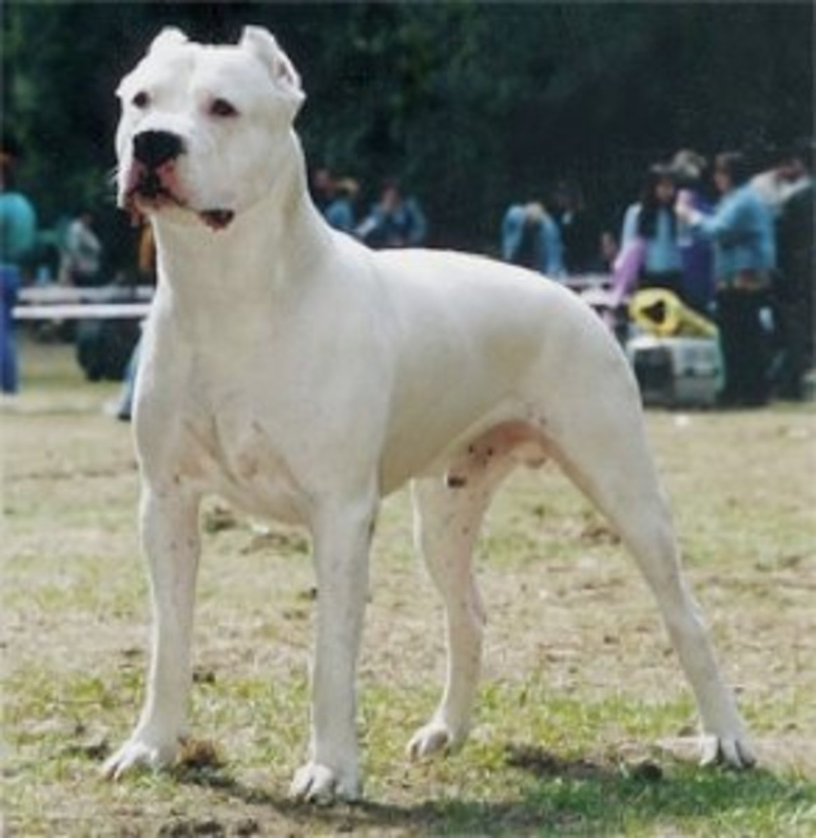 This Dogo Argentino is zoned into something and standing guard