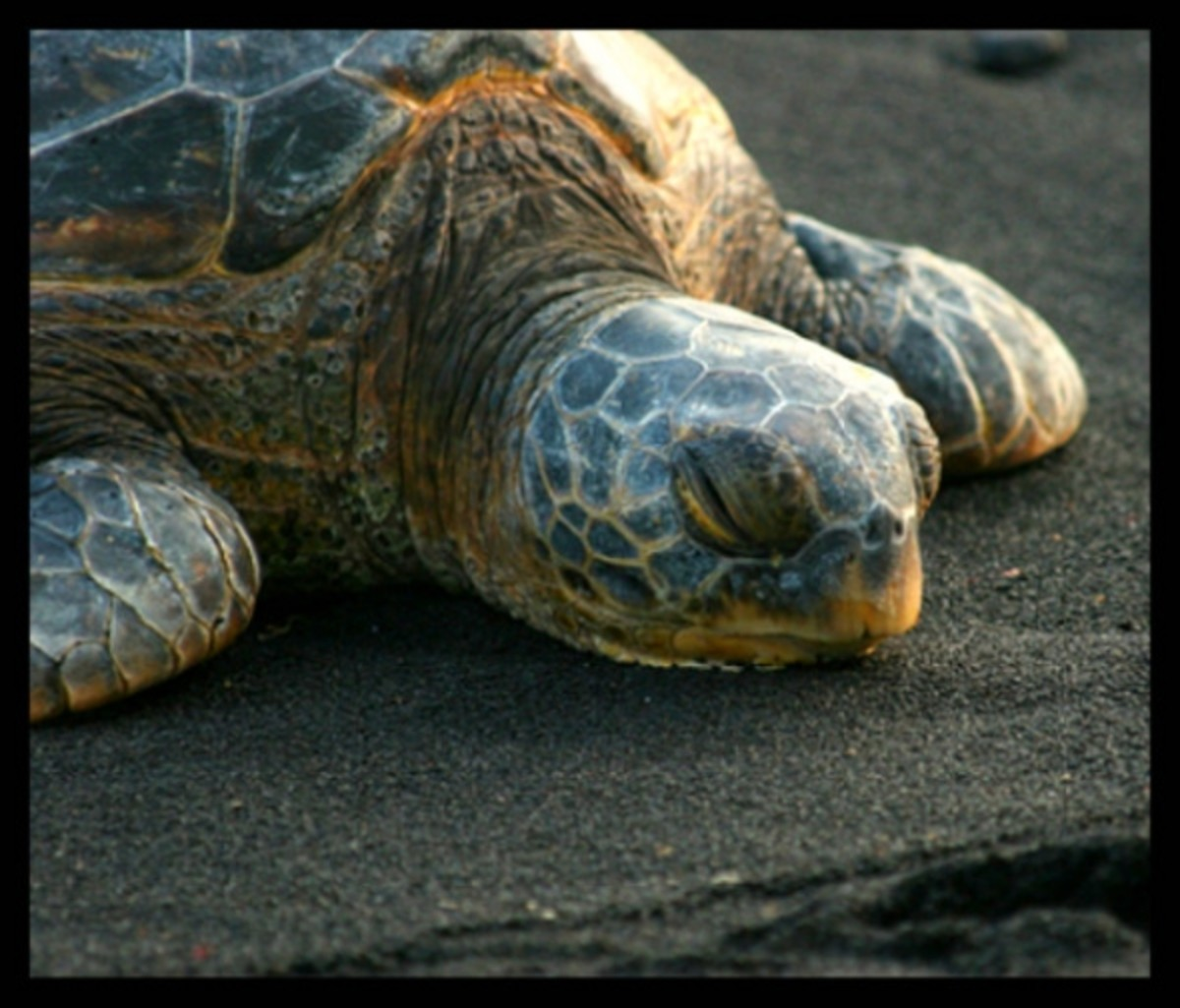 Green Sea Turtle Sleeping At Punaluu Black Sand Beach