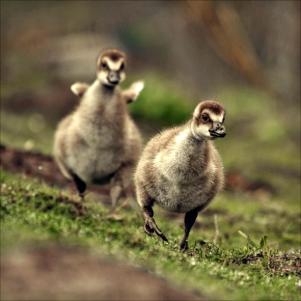 Gosling Sprint