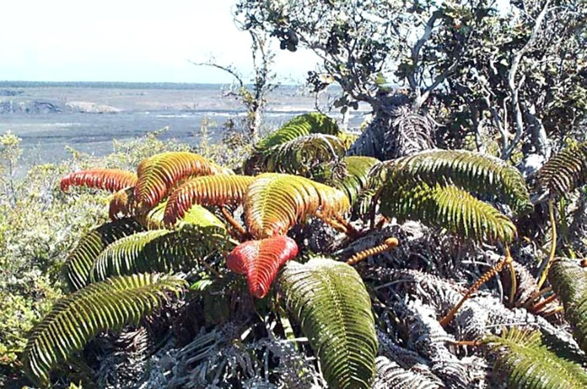 `Ama`u Fern at Halema`uma`u Crater