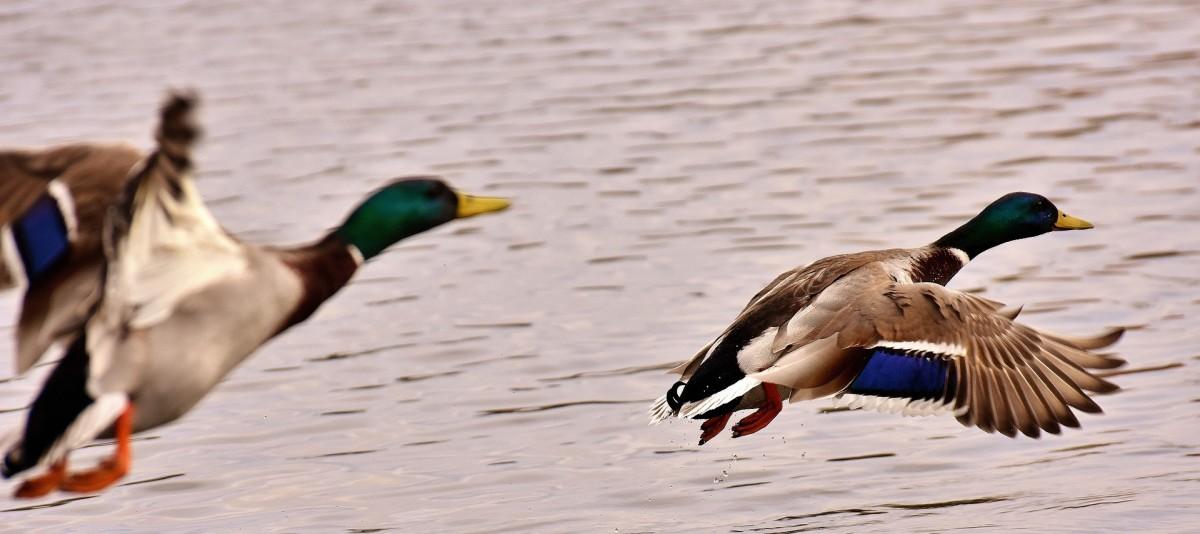 top-raising-duck-breeds-backyard