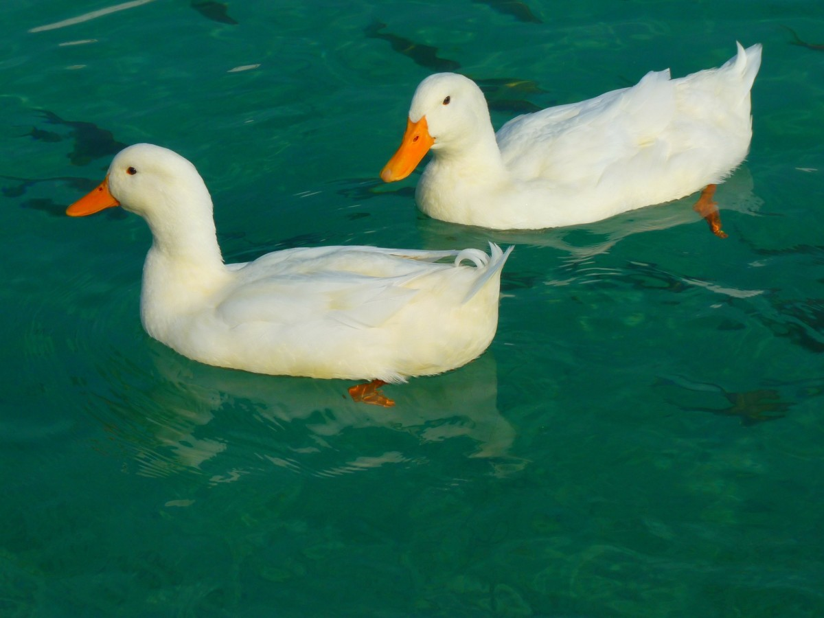 Top 10 Duck Breeds for Backyard Hobbyists