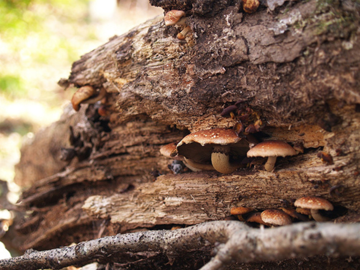Mushrooms on a rotting log. Photo by tacomabibelot.